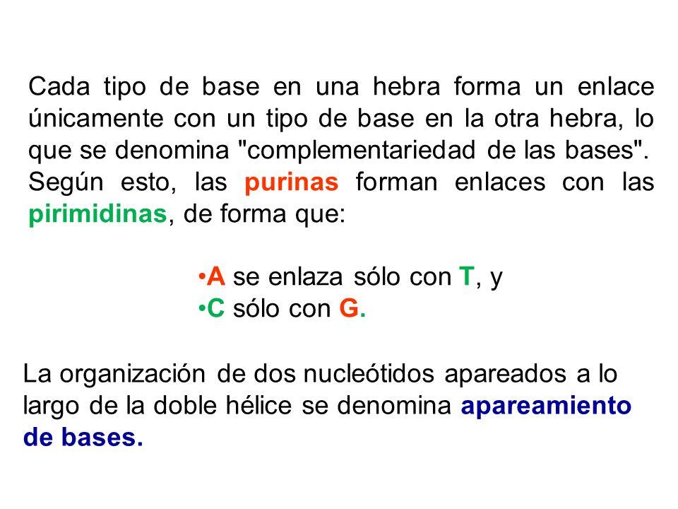 Cada tipo de base en una hebra forma un enlace únicamente con un tipo de base en la otra hebra, lo que se denomina