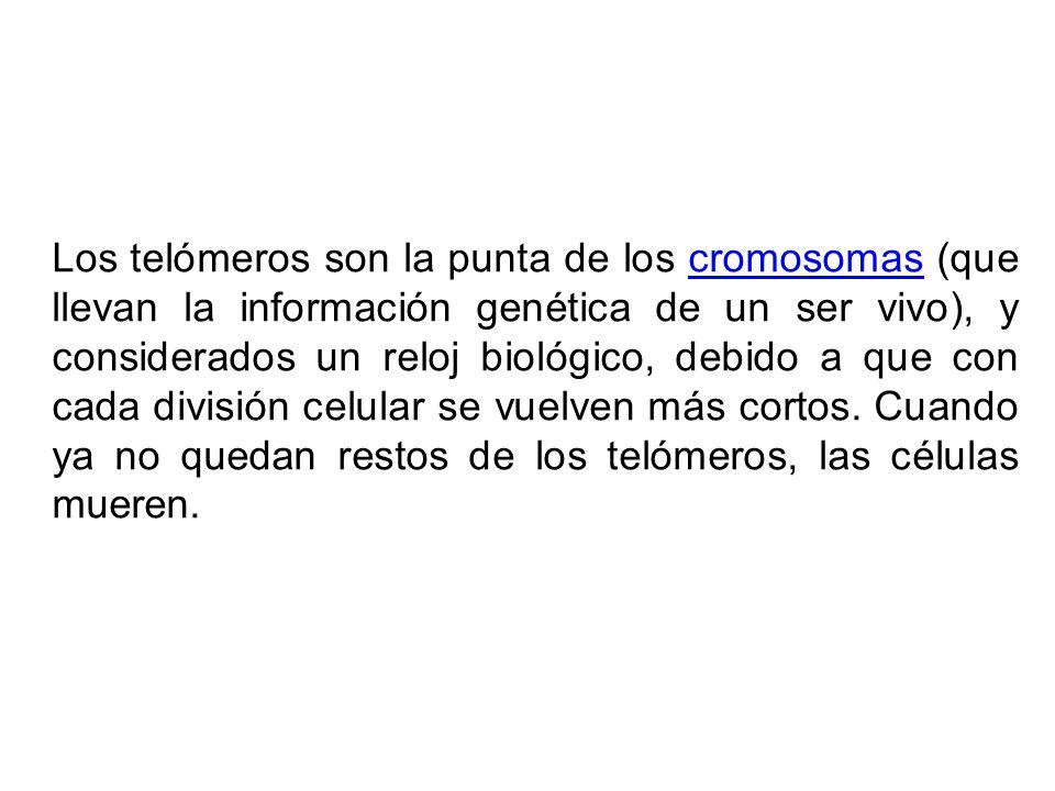 Los telómeros son la punta de los cromosomas (que llevan la información genética de un ser vivo), y considerados un reloj biológico, debido a que con