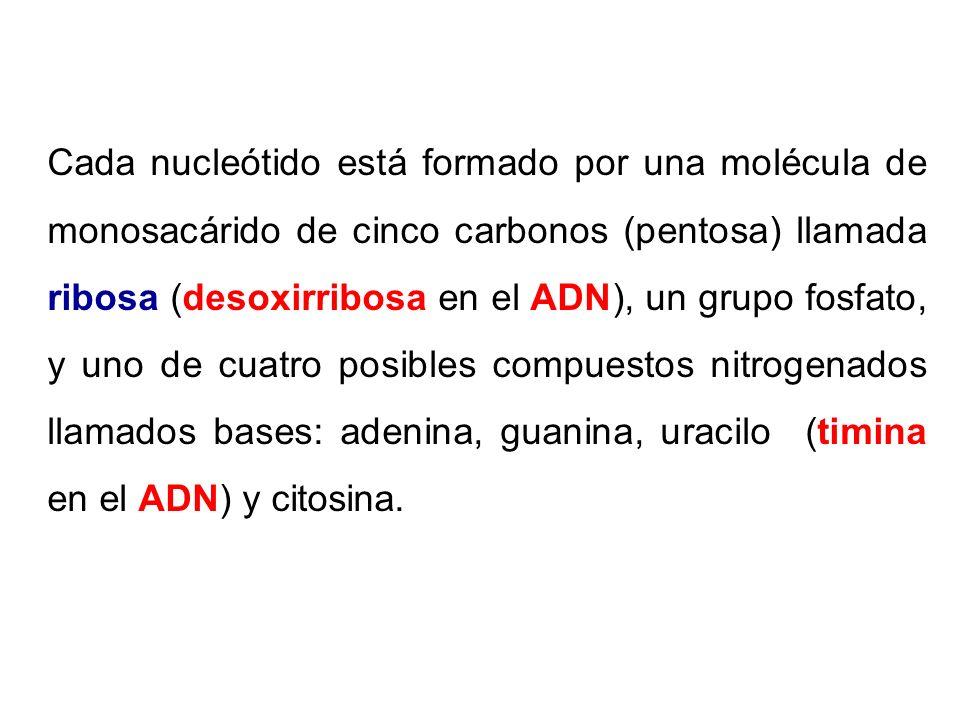 Cada nucleótido está formado por una molécula de monosacárido de cinco carbonos (pentosa) llamada ribosa (desoxirribosa en el ADN), un grupo fosfato,