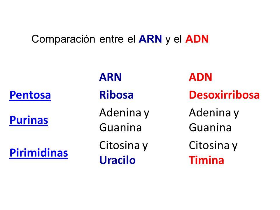 Comparación entre el ARN y el ADN ARNADN PentosaRibosaDesoxirribosa Purinas Adenina y Guanina Pirimidinas Citosina y Uracilo Citosina y Timina