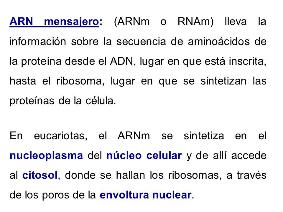 ARN mensajero: (ARNm o RNAm) lleva la información sobre la secuencia de aminoácidos de la proteína desde el ADN, lugar en que está inscrita, hasta el
