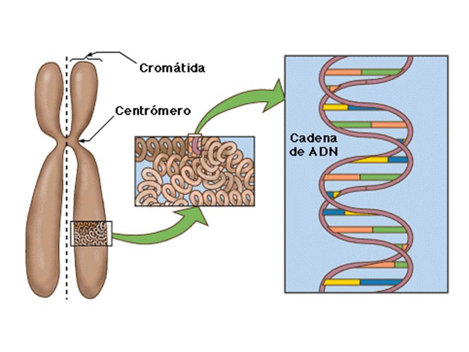 EL ÁCIDO DESOXIRRIBONUCLEICO, abreviado como ADN (y también DNA, del inglés DesoxyriboNucleic Acid).