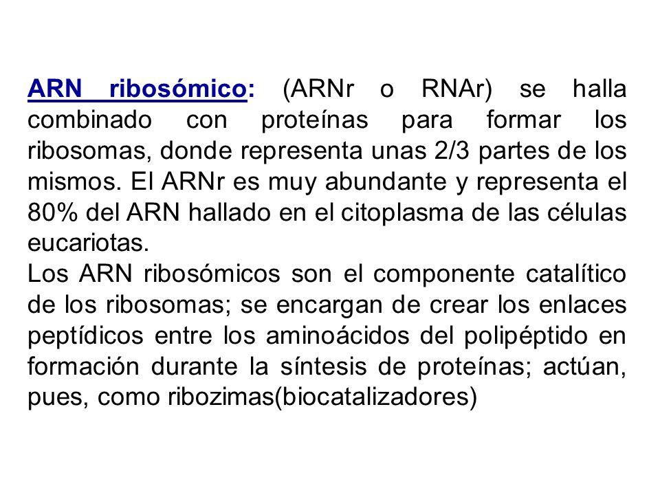 ARN ribosómico: (ARNr o RNAr) se halla combinado con proteínas para formar los ribosomas, donde representa unas 2/3 partes de los mismos. El ARNr es m