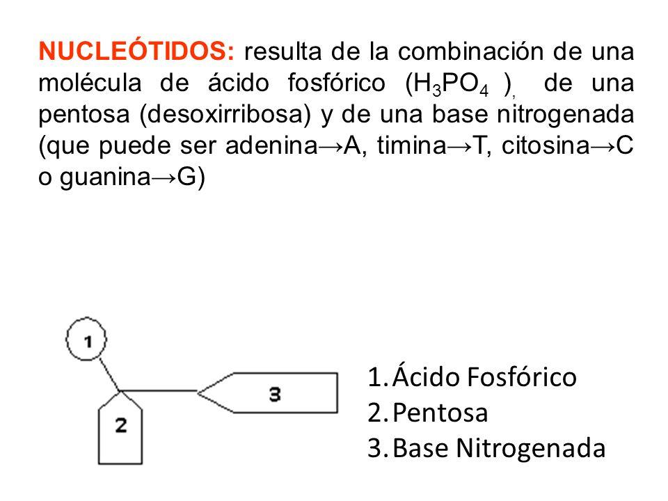 NUCLEÓSIDO: Compuesto que resulta de la asociación de una base nitrogenada (que puede ser adeninaA, timinaT, citosinaC o guaninaG), con una Pentosa (desoxirribosa) 1.Base Nitrogenada 2.Pentosa