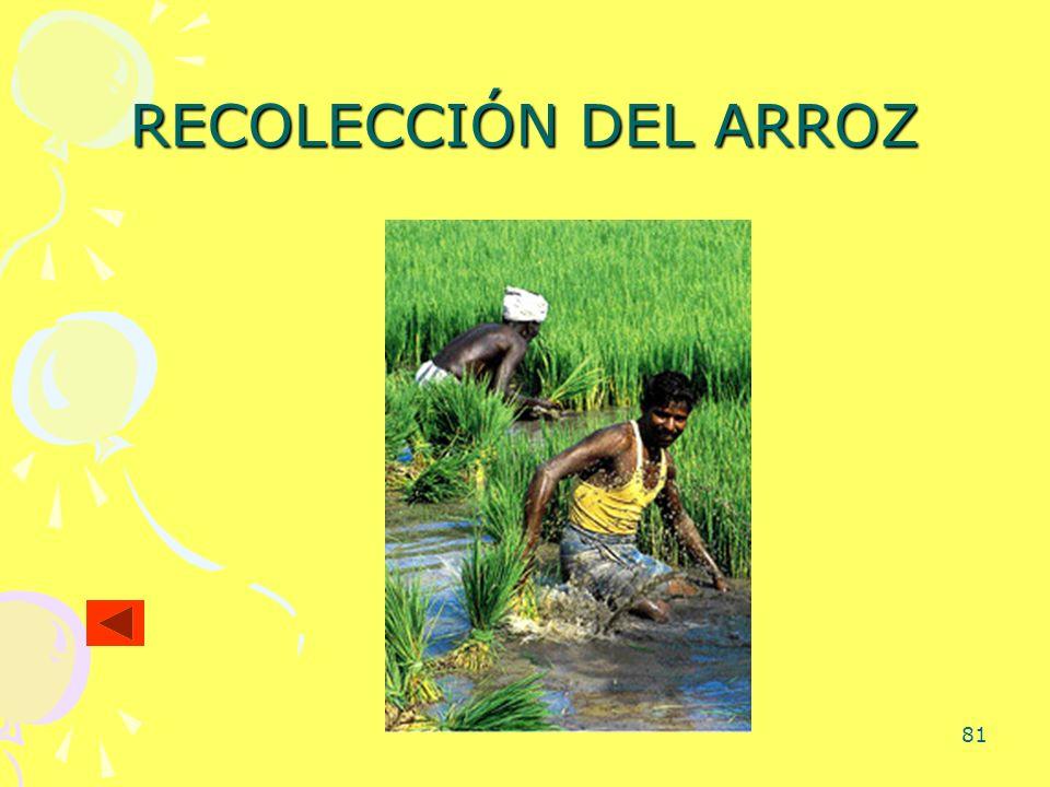 81 RECOLECCIÓN DEL ARROZ