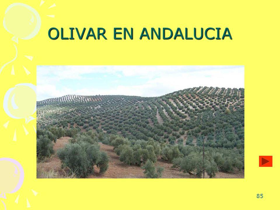 85 OLIVAR EN ANDALUCIA