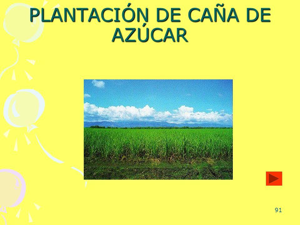 91 PLANTACIÓN DE CAÑA DE AZÚCAR