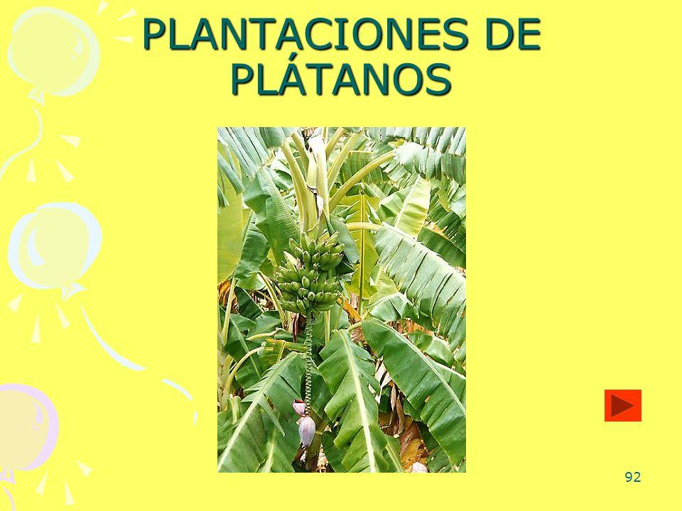 92 PLANTACIONES DE PLÁTANOS