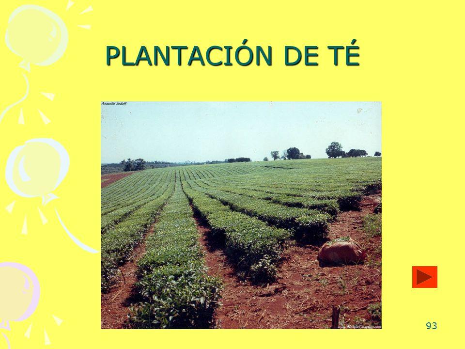 93 PLANTACIÓN DE TÉ