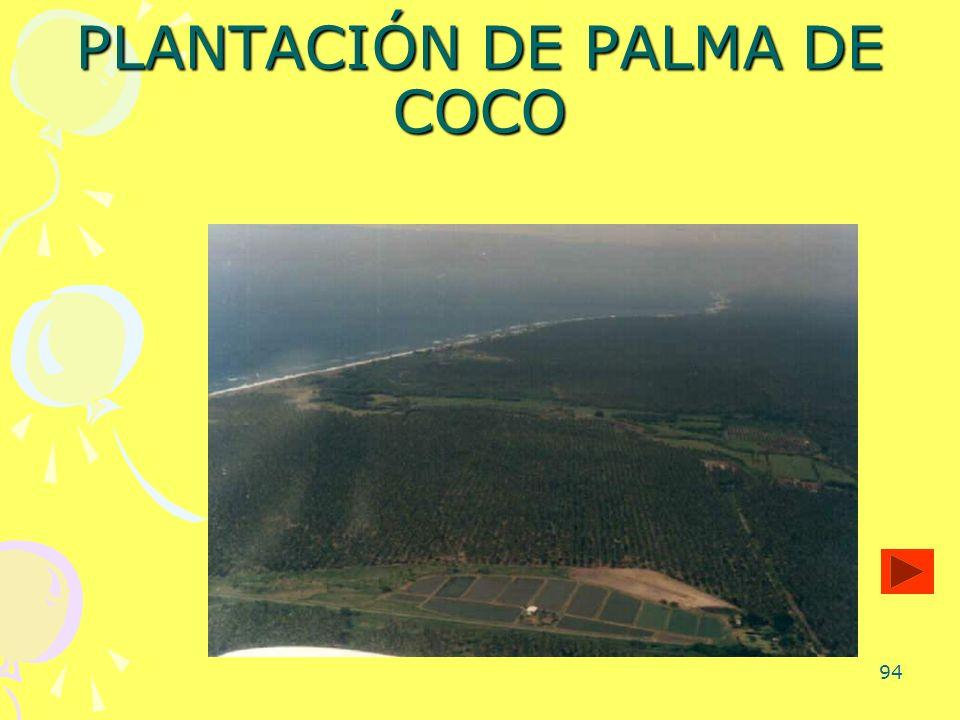 94 PLANTACIÓN DE PALMA DE COCO