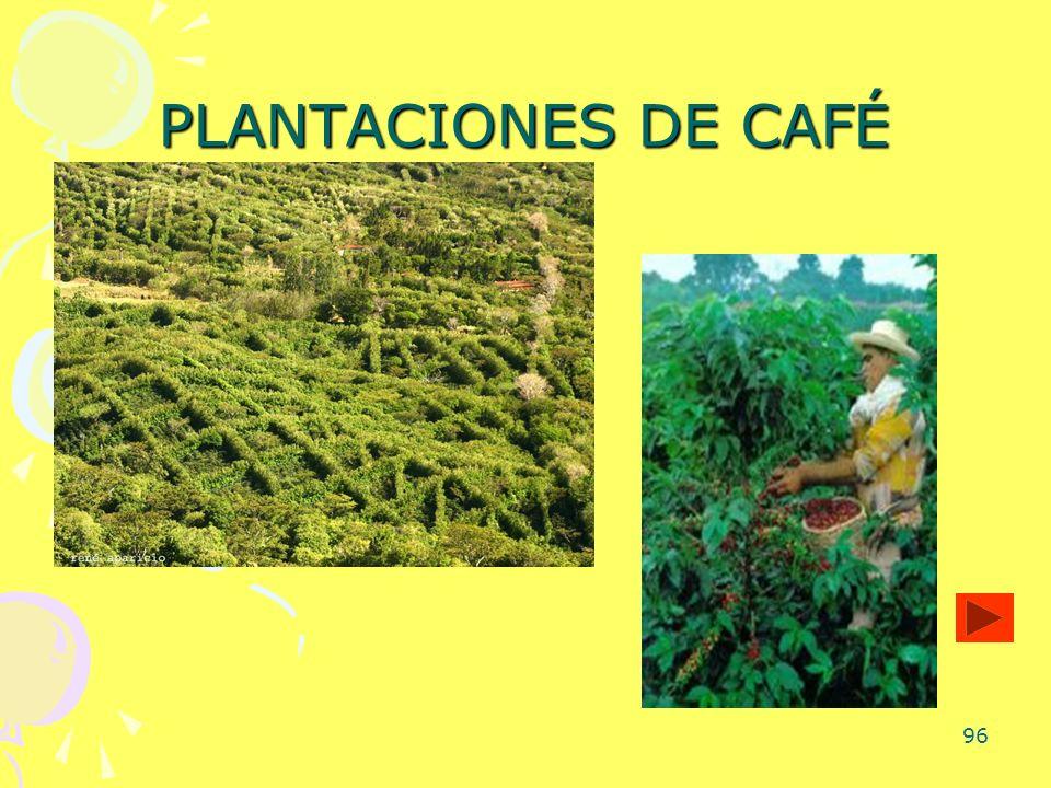 96 PLANTACIONES DE CAFÉ