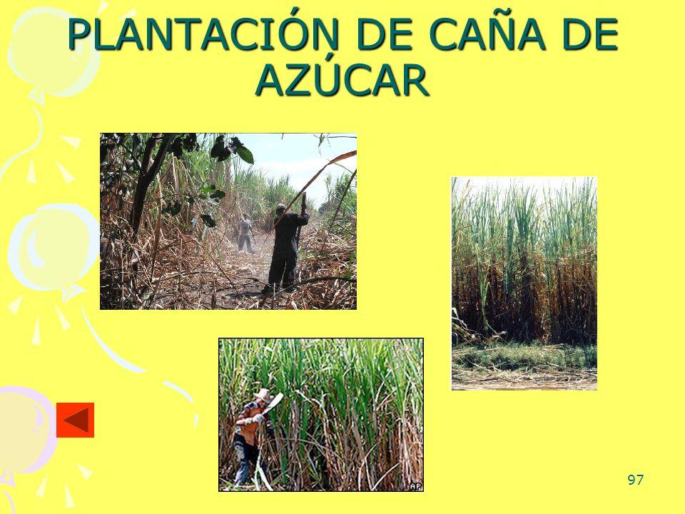 97 PLANTACIÓN DE CAÑA DE AZÚCAR
