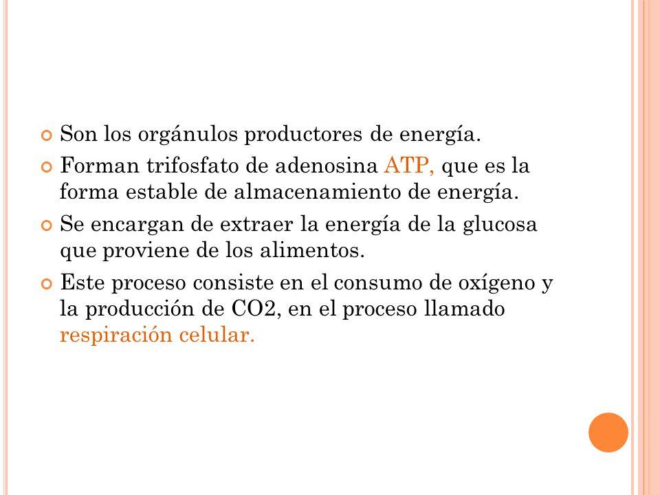Son los orgánulos productores de energía. Forman trifosfato de adenosina ATP, que es la forma estable de almacenamiento de energía. Se encargan de ext
