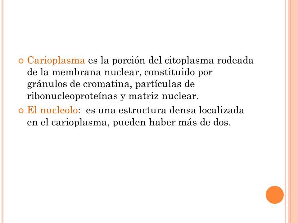 Carioplasma es la porción del citoplasma rodeada de la membrana nuclear, constituido por gránulos de cromatina, partículas de ribonucleoproteínas y ma