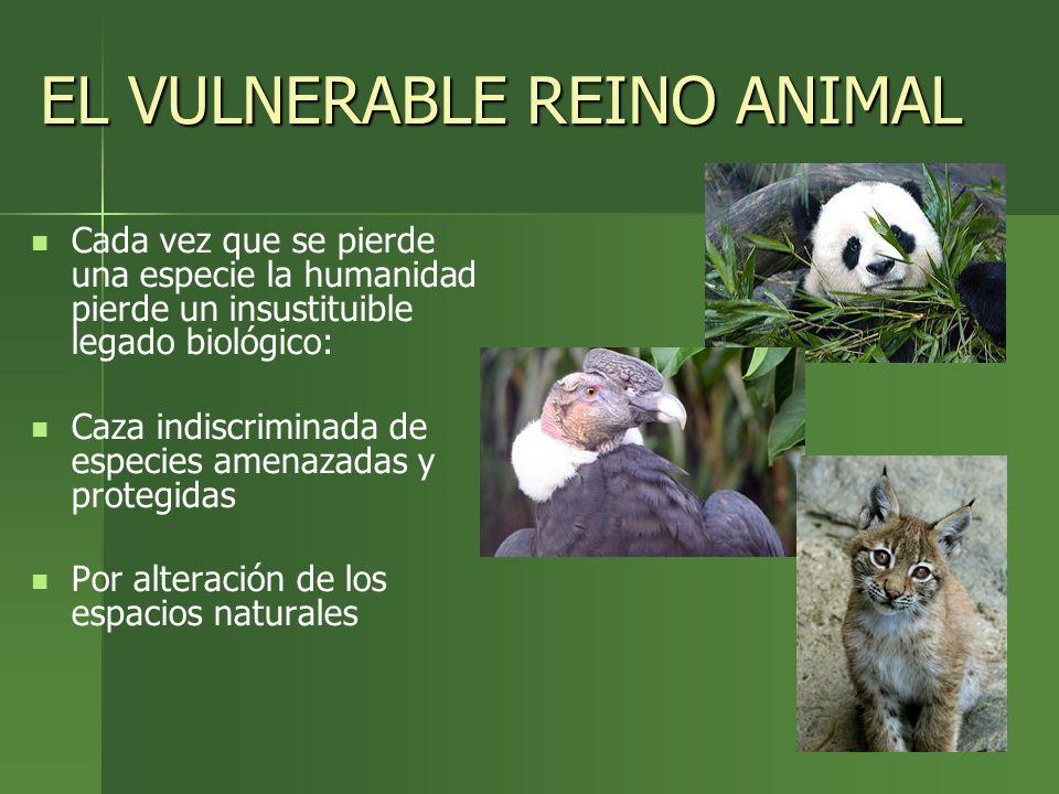 EL VULNERABLE REINO ANIMAL Cada vez que se pierde una especie la humanidad pierde un insustituible legado biológico: Caza indiscriminada de especies a
