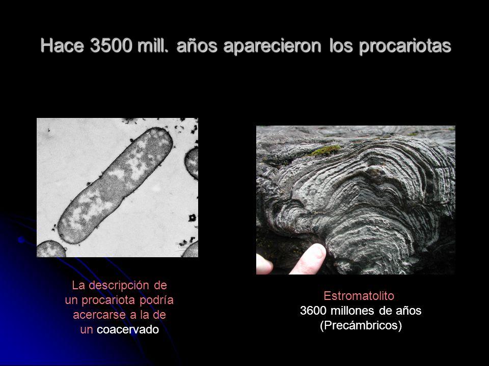 Hace 3500 mill. años aparecieron los procariotas Estromatolito 3600 millones de años (Precámbricos) La descripción de un procariota podría acercarse a