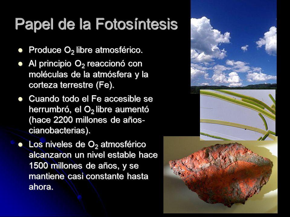 Papel de la Fotosíntesis Produce O 2 libre atmosférico. Produce O 2 libre atmosférico. Al principio O 2 reaccionó con moléculas de la atmósfera y la c
