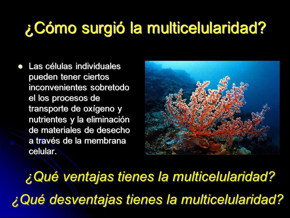 ¿Cómo surgió la multicelularidad? Las células individuales pueden tener ciertos inconvenientes sobretodo el los procesos de transporte de oxígeno y nu