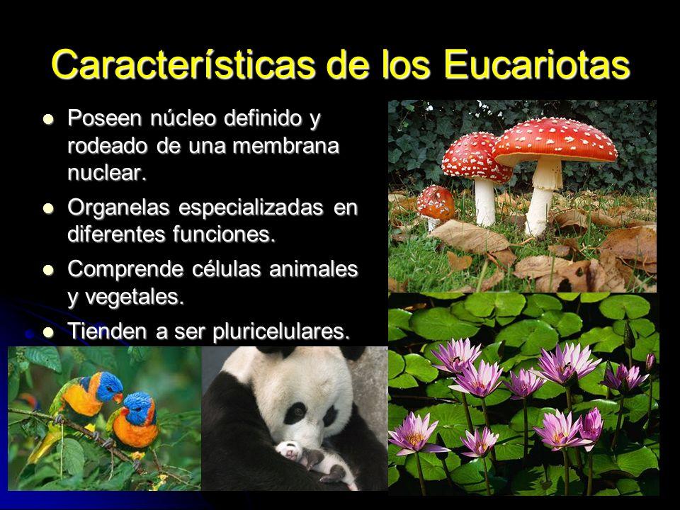 Características de los Eucariotas Poseen núcleo definido y rodeado de una membrana nuclear. Poseen núcleo definido y rodeado de una membrana nuclear.