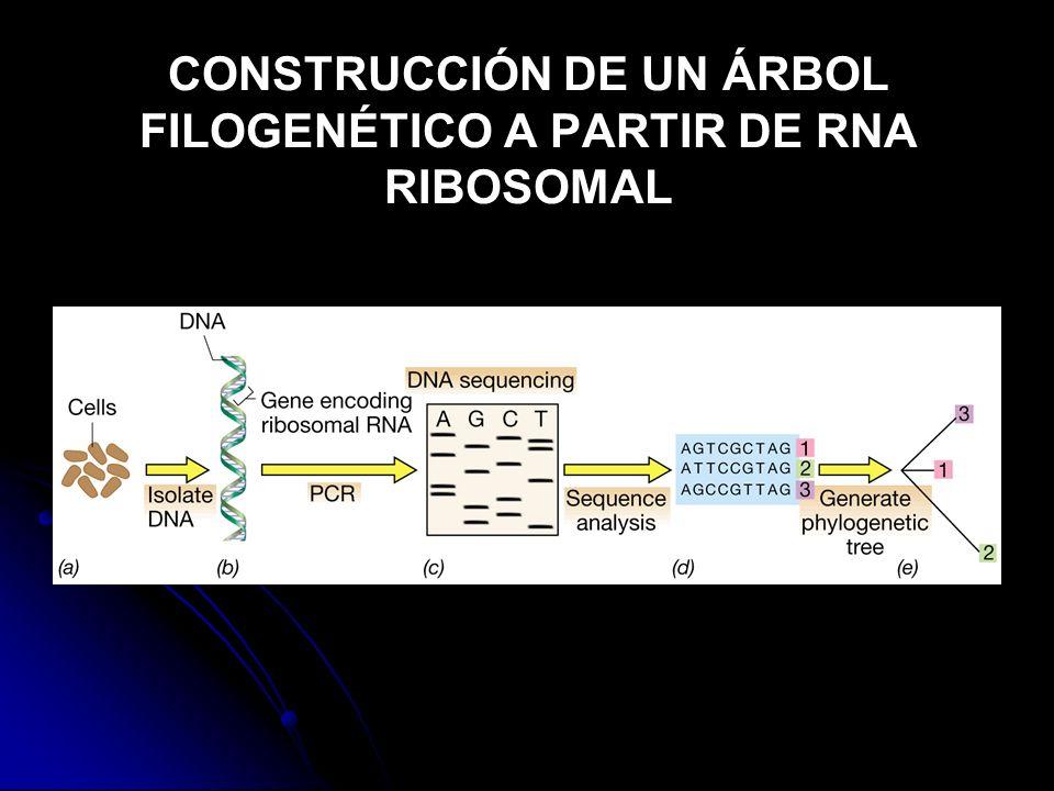 CONSTRUCCIÓN DE UN ÁRBOL FILOGENÉTICO A PARTIR DE RNA RIBOSOMAL
