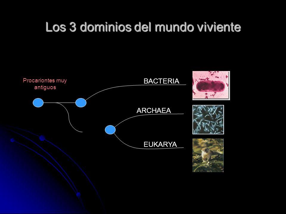 Los 3 dominios del mundo viviente Procariontes muy antiguos BACTERIA ARCHAEA EUKARYA