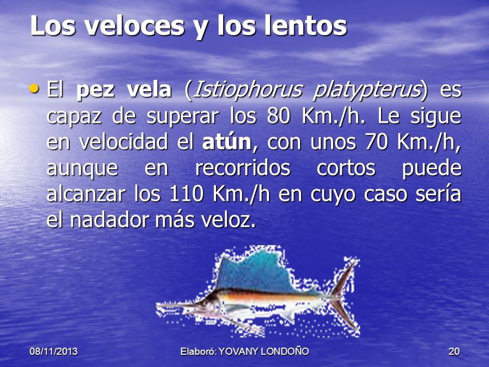 20 Los veloces y los lentos El pez vela (Istiophorus platypterus) es capaz de superar los 80 Km./h. Le sigue en velocidad el atún, con unos 70 Km./h,