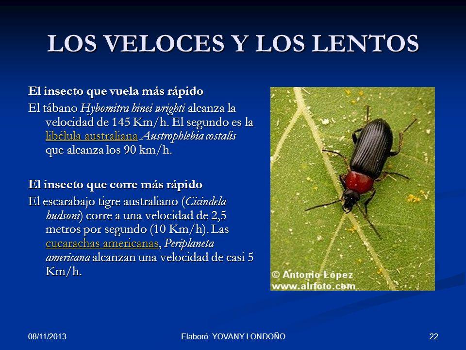 22 LOS VELOCES Y LOS LENTOS El insecto que vuela más rápido El tábano Hybomitra hinei wrighti alcanza la velocidad de 145 Km/h. El segundo es la libél
