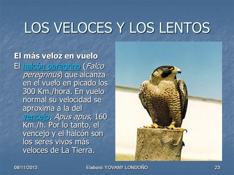 23 LOS VELOCES Y LOS LENTOS El más veloz en vuelo El halcón peregrino (Falco peregrinus) que alcanza en el vuelo en picado los 300 Km./hora. En vuelo
