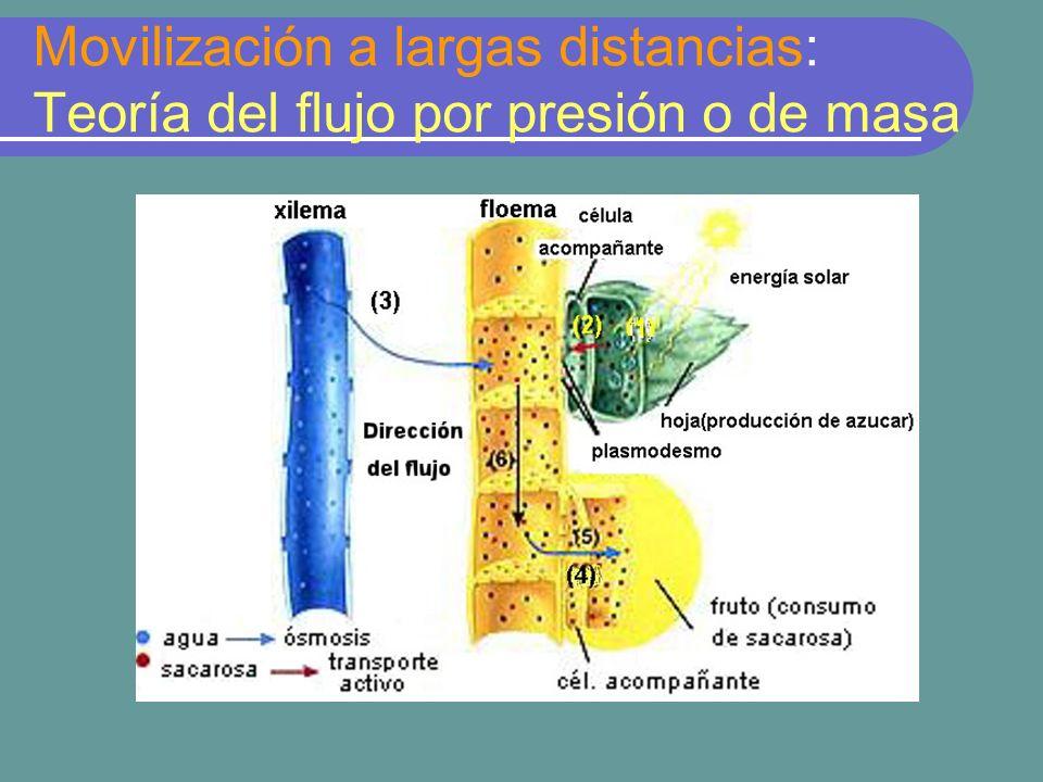 Movilización a largas distancias: Teoría del flujo por presión o de masa