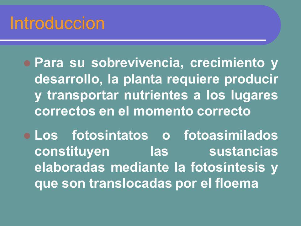 Partición de asimilados El llenado de un órgano consumidor depende también de su capacidad de atraer los fotoasimilados Esto depende del tamaño y de la actividad metabólica del consumidor El proceso de partición es complejo y esta regulado por una serie de factores