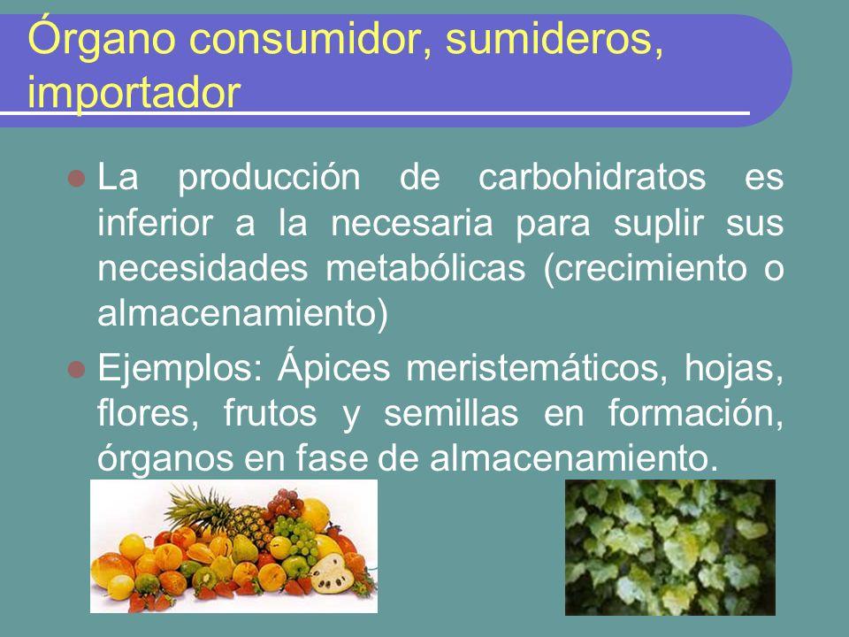 Organo consumidor o sumideros En los órganos consumidores, los azucares transportados pueden ser utilizados en el metabolismo y crecimiento (sustrato para la respiración) o pueden ser almacenados como reservas.