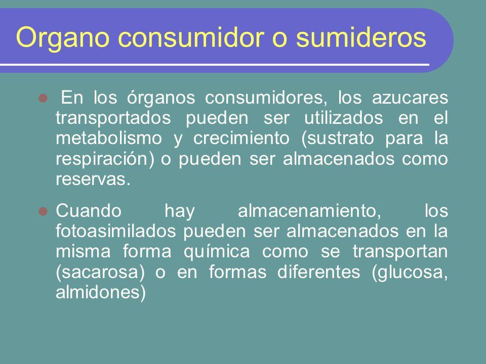 Organo consumidor o sumideros En los órganos consumidores, los azucares transportados pueden ser utilizados en el metabolismo y crecimiento (sustrato