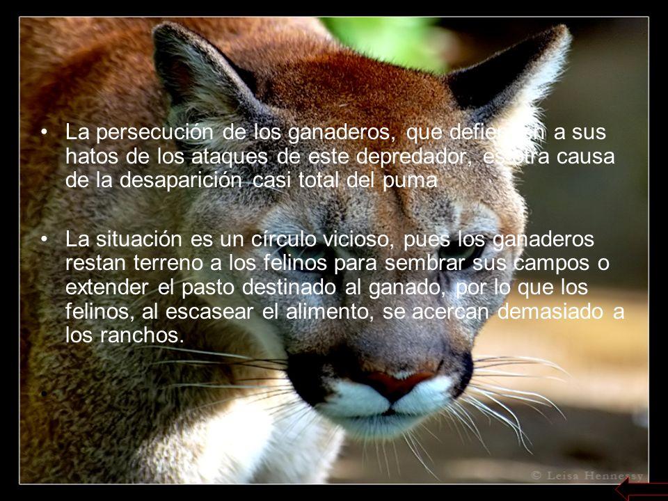 Debido a que es un animal que se desplaza más que el jaguar, es un tanto difícil encontrarlo para cazarlo.