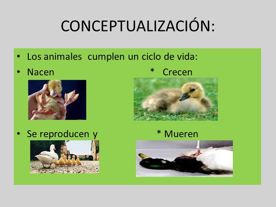 CONCEPTUALIZACIÓN: Los animales cumplen un ciclo de vida: Nacen * Crecen Se reproducen y * Mueren