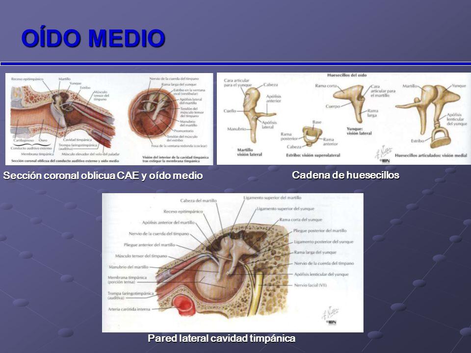 OÍDO INTERNO ÓSEO: ÓSEO: cóclea (órgano auditivo) cóclea (órgano auditivo) conductos semicirculares conductos semicirculares vestíbulo (órgano equilibrio) vestíbulo (órgano equilibrio) MEMBRANOSO: MEMBRANOSO: laberinto membranoso.