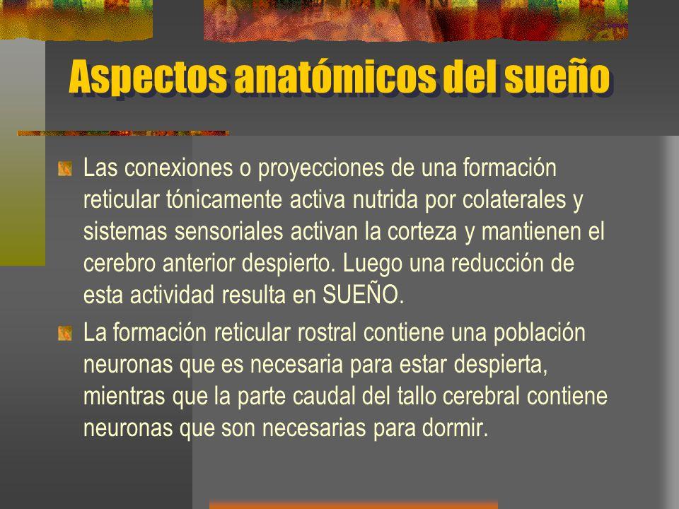 Aspectos anatómicos del sueño Las conexiones o proyecciones de una formación reticular tónicamente activa nutrida por colaterales y sistemas sensorial