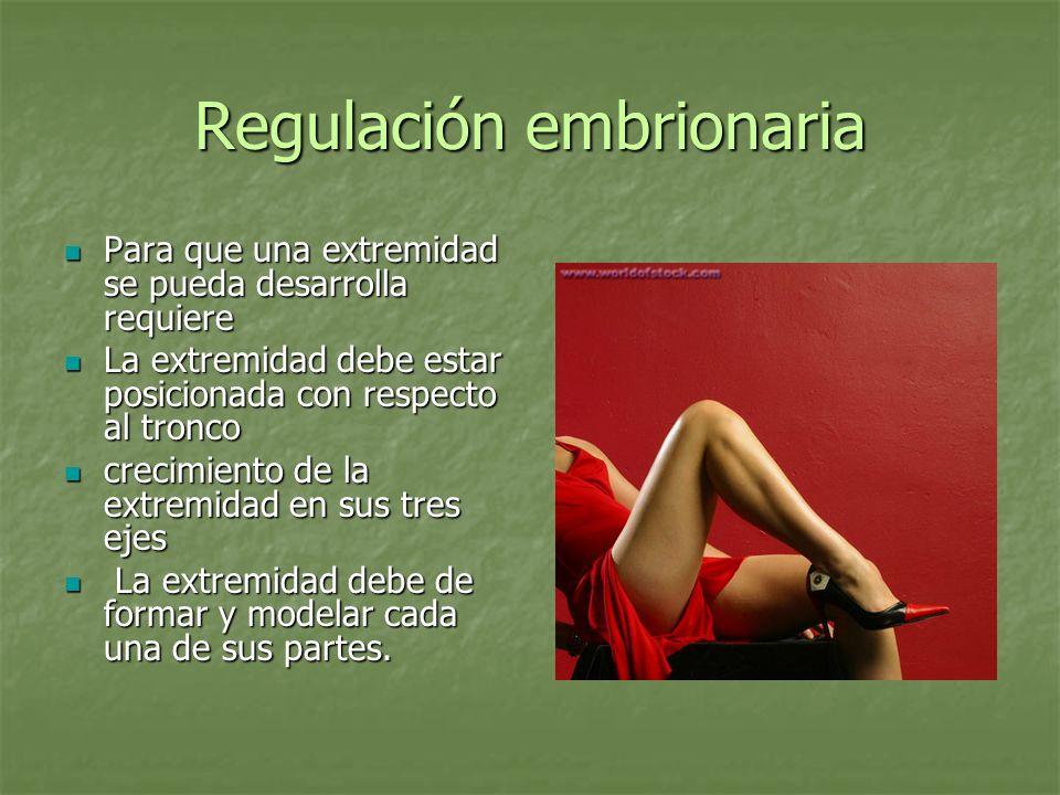 Regulación embrionaria Para que una extremidad se pueda desarrolla requiere Para que una extremidad se pueda desarrolla requiere La extremidad debe es
