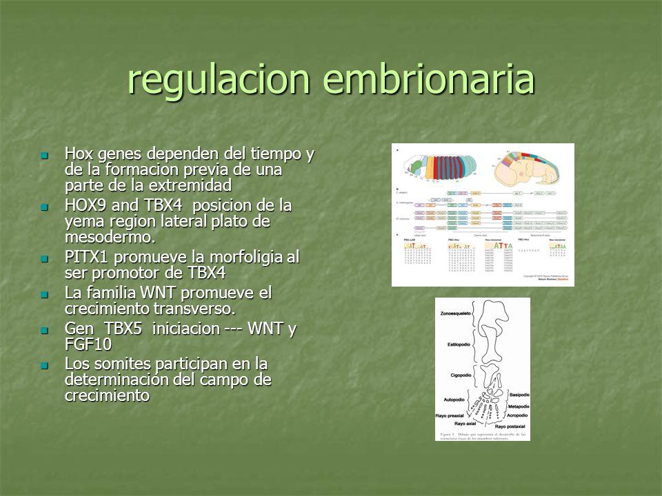 regulacion embrionaria Hox genes dependen del tiempo y de la formacion previa de una parte de la extremidad Hox genes dependen del tiempo y de la form