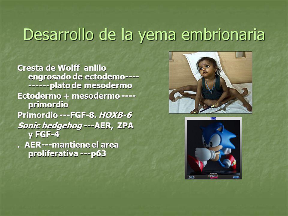 Desarrollo de la yema embrionaria Cresta de Wolff anillo engrosado de ectodemo---- ------plato de mesodermo Ectodermo + mesodermo ---- primordio Primo
