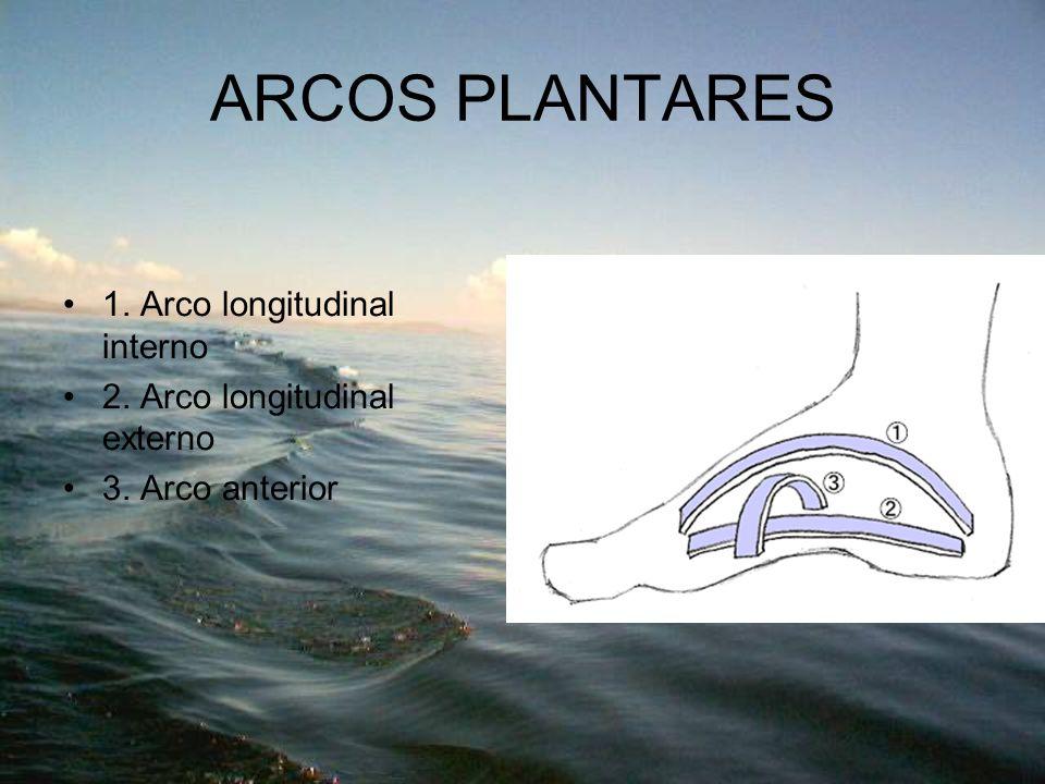 ARCOS PLANTARES 1. Arco longitudinal interno 2. Arco longitudinal externo 3. Arco anterior
