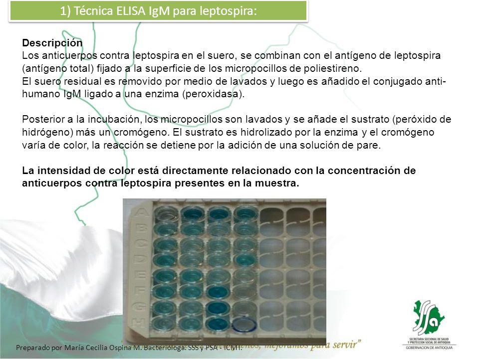 1) Técnica ELISA IgM para leptospira: Descripción Los anticuerpos contra leptospira en el suero, se combinan con el antígeno de leptospira (antígeno t