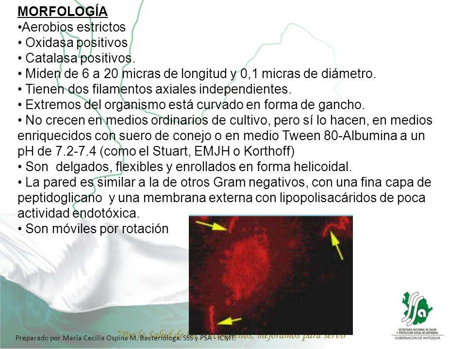 MORFOLOGÍA Aerobios estrictos Oxidasa positivos Catalasa positivos. Miden de 6 a 20 micras de longitud y 0,1 micras de diámetro. Tienen dos filamentos