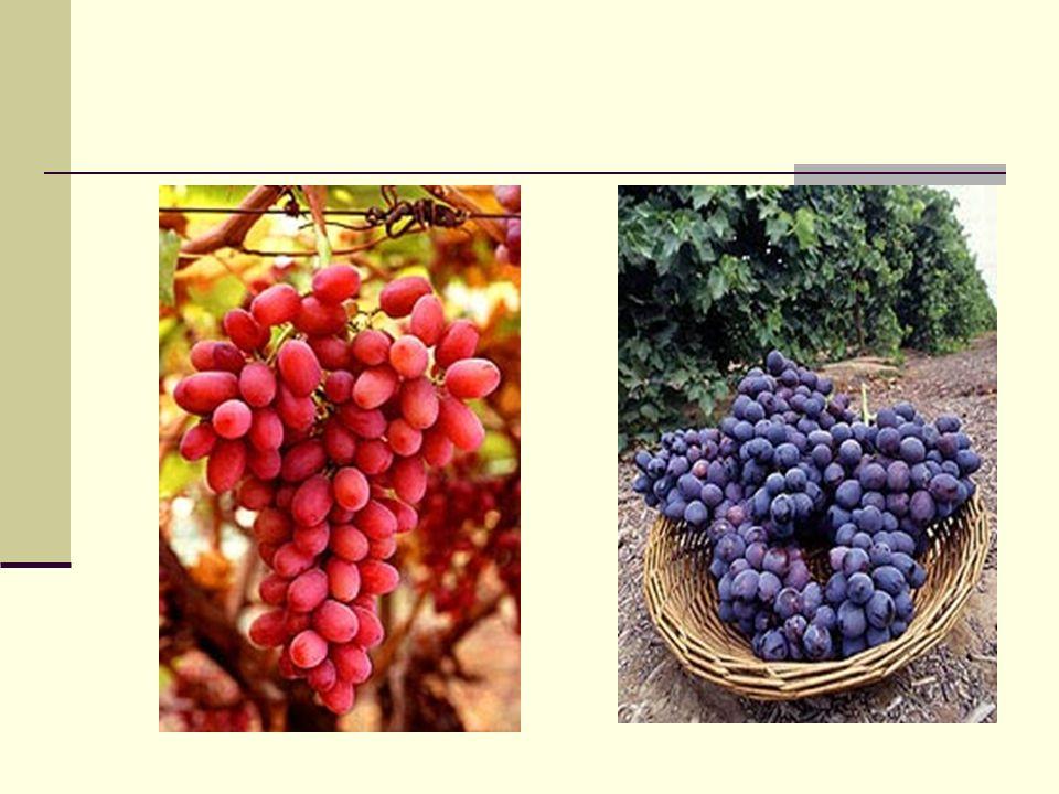 El Vino Una vez que el jugo sea liberado de las uvas rompiendo las cerezas y/o prensandolas se vuelve un nuevo ambiente para los microorganismos.