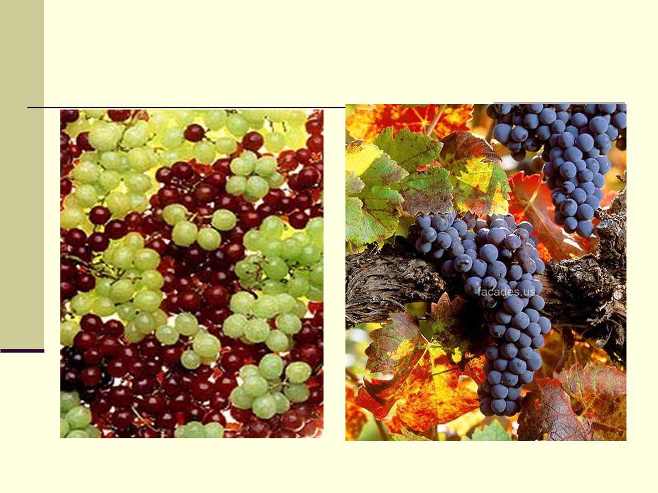 El Vino La fermentación del vino agota el contenido de azúcares que tiene el jugo por lo que un vino natural está libre de ellos y se conoce como seco.