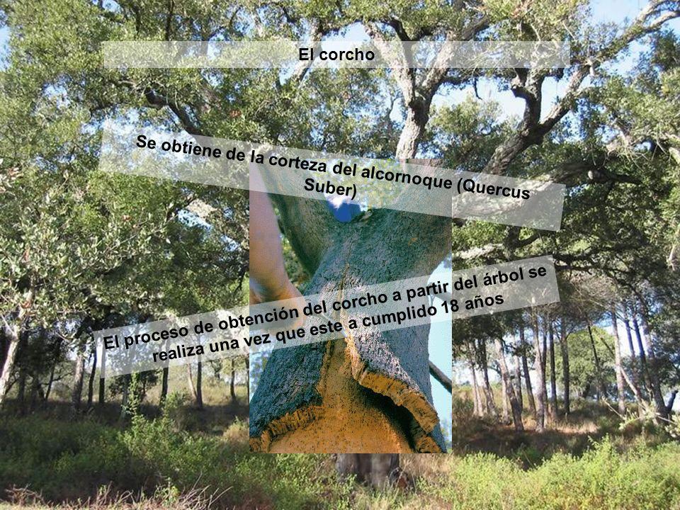 Obtención del corcho Este proceso se realiza entre junio y agosto y se intenta no dañar el árbol pudiendo repetirse cada 9 años.