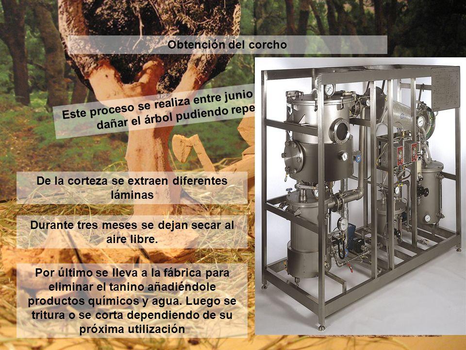 Obtención del corcho Este proceso se realiza entre junio y agosto y se intenta no dañar el árbol pudiendo repetirse cada 9 años. De la corteza se extr