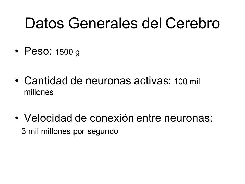 Datos Generales del Cerebro Peso: 1500 g Cantidad de neuronas activas: 100 mil millones Velocidad de conexión entre neuronas: 3 mil millones por segun