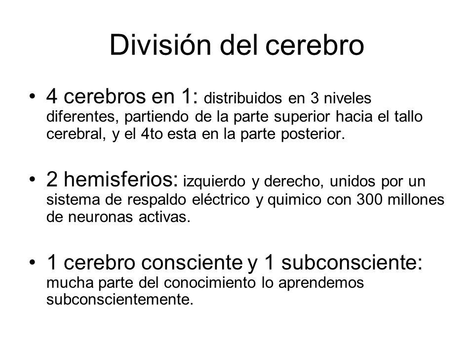 División del cerebro 4 cerebros en 1: distribuidos en 3 niveles diferentes, partiendo de la parte superior hacia el tallo cerebral, y el 4to esta en l