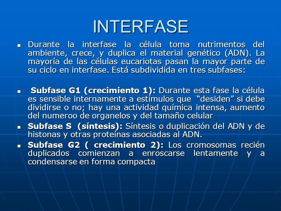 INTERFASE Durante la interfase la célula toma nutrimentos del ambiente, crece, y duplica el material genético (ADN). La mayoría de las células eucario