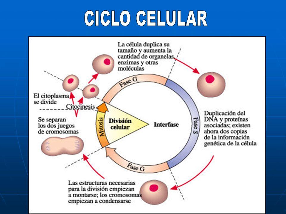 INTERFASE Durante la interfase la célula toma nutrimentos del ambiente, crece, y duplica el material genético (ADN).